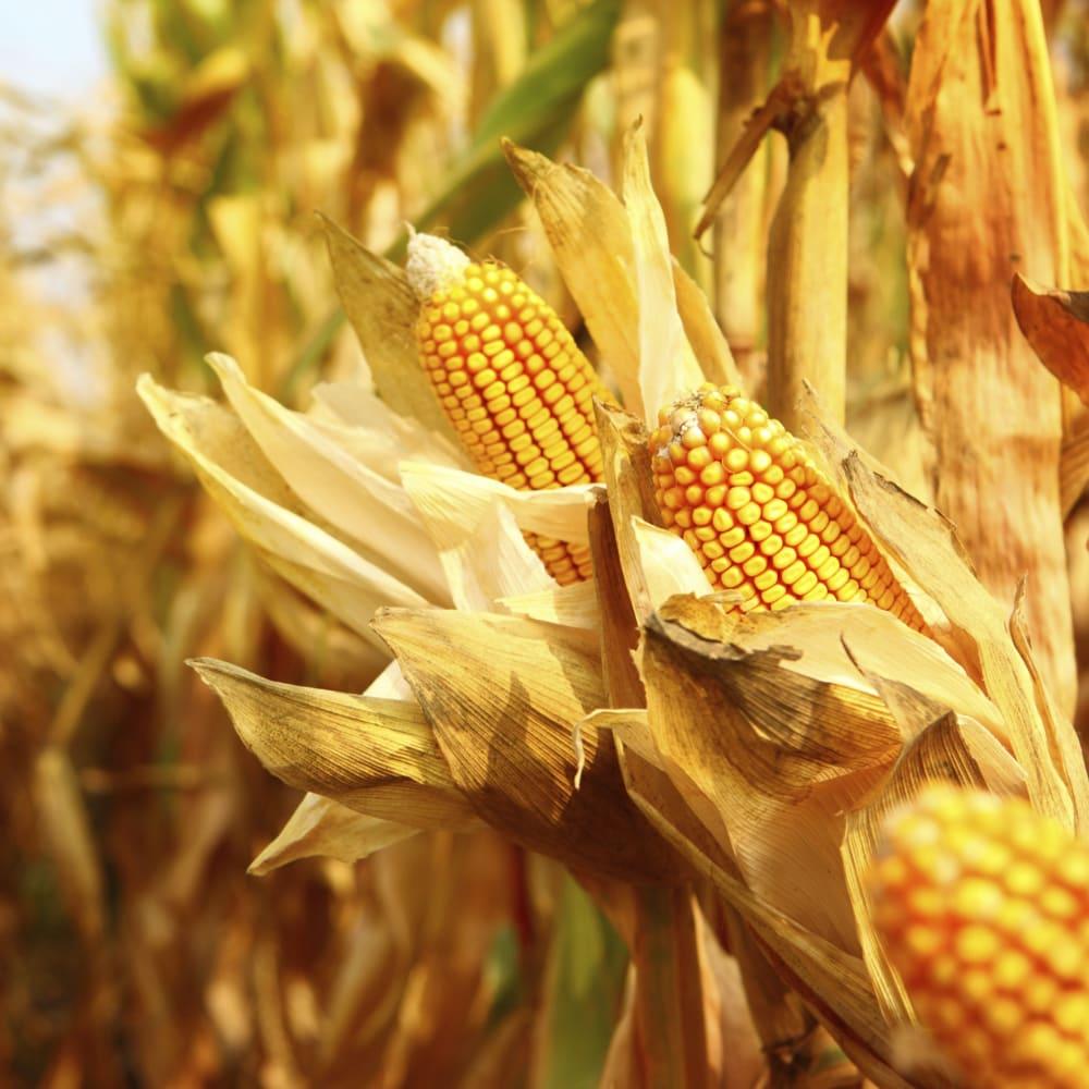 Nitrogen and protein determination in feed