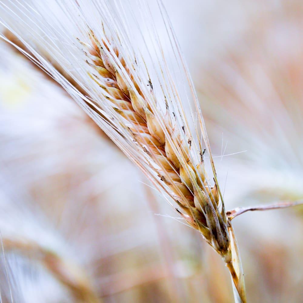 Wheat bran extract