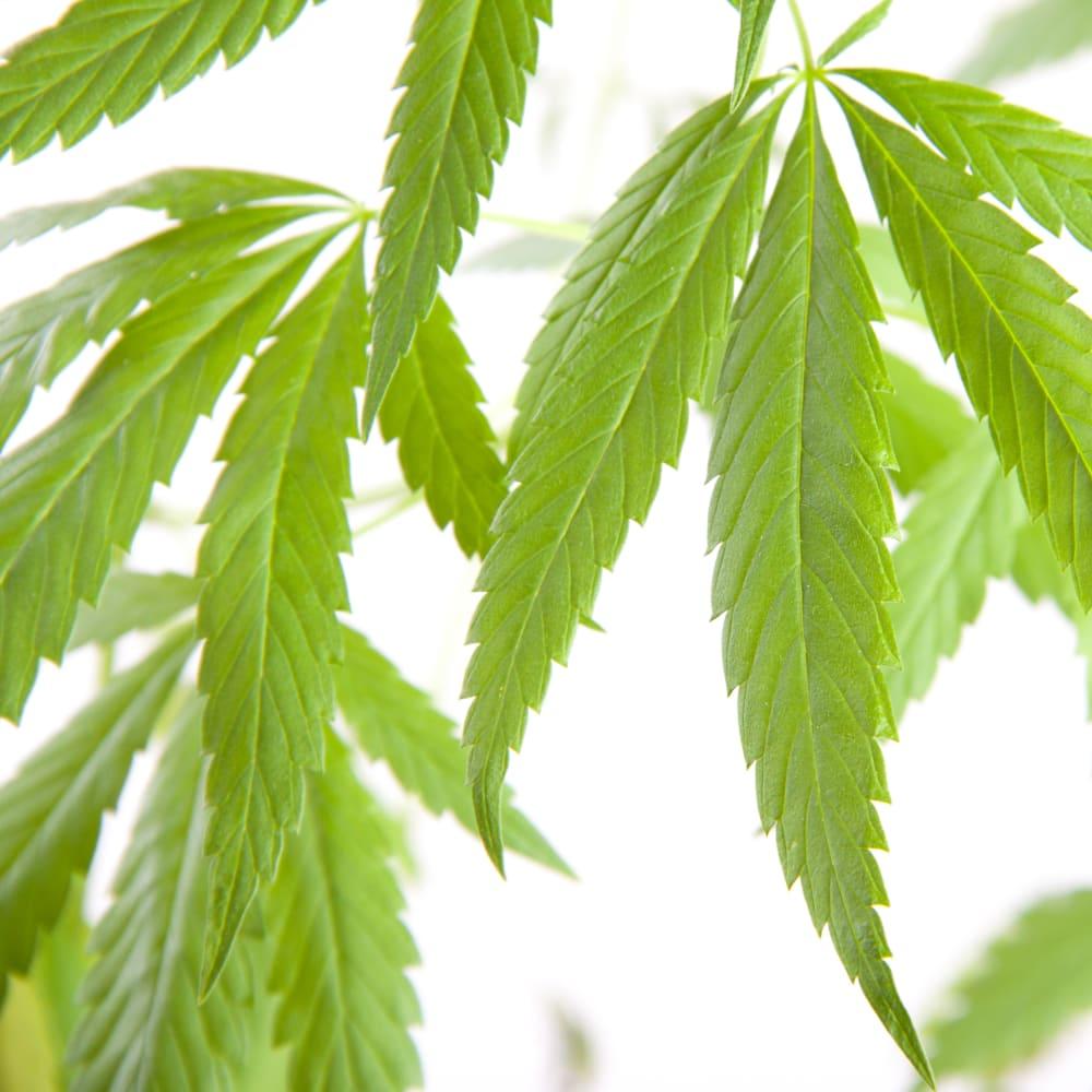 Séchage par pulvérisation du cannabis