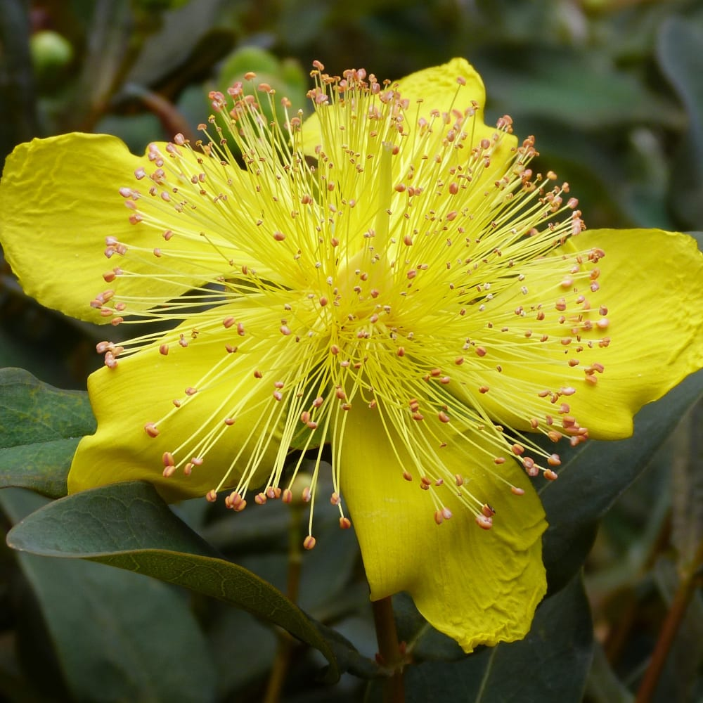 Pre-Extraction and Extraction of Hypericin in St. John's Wort (Hypericum perforatum) using the SpeedExtractor E-916