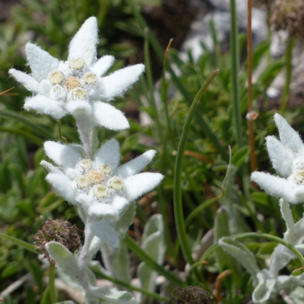 Extraction of Edelweiss (Leontopodium alpinum) using the SpeedExtractor E-916 for the Determination of Total Polyphenol Content
