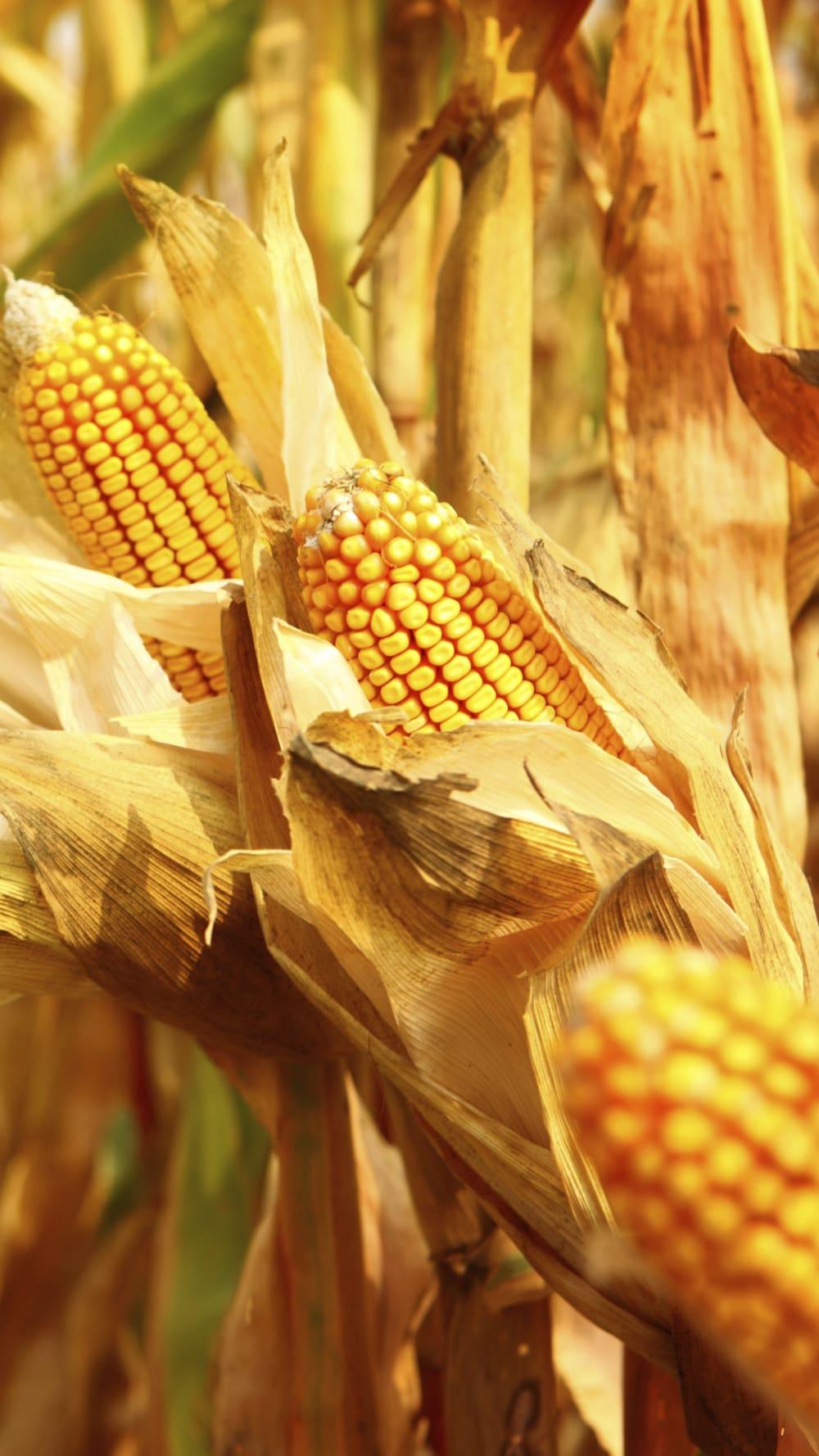 Feed_Corn.tiff
